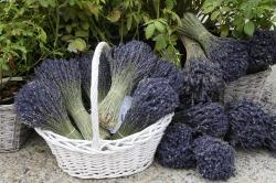 Lavendar in Provence